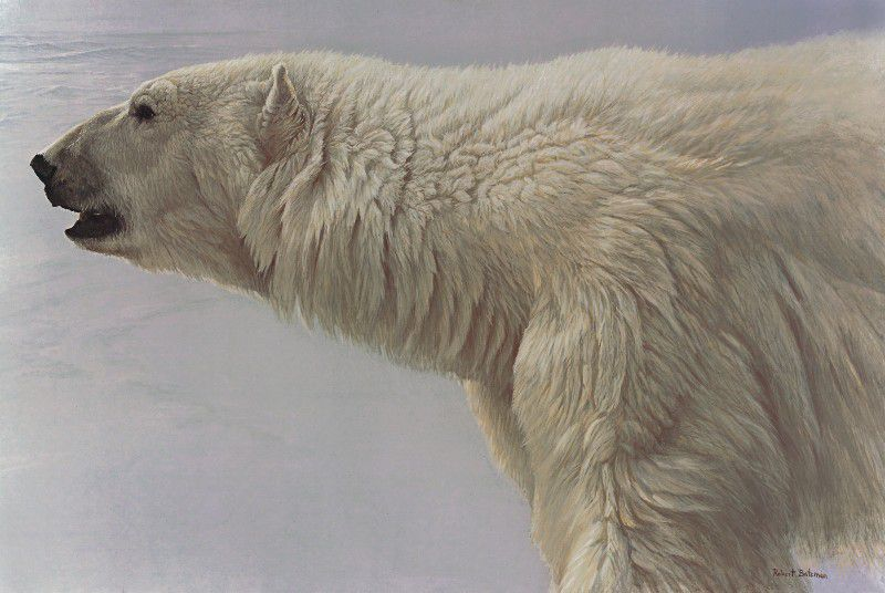 76-16-Polar-Bear-Profile-2