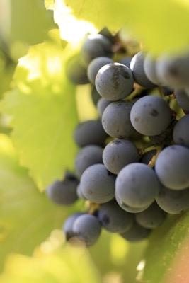 Moon-Curser-Vineyards-Tempranillo-Grapes-2