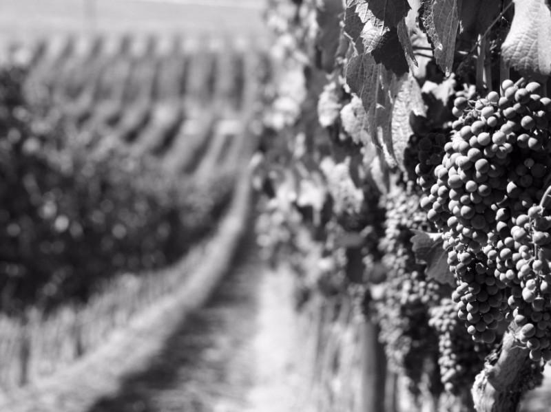 Grapes-on-Vine-3