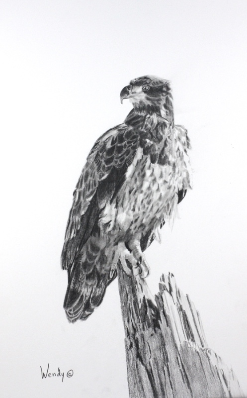 Wendy-Mould.-Young-Bald-Eagle.-Alert-and-Ready.-Graphite